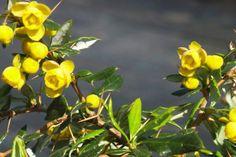 Épine-vinette 'Telstar'    Le Berberis frikartii 'Telstar' (Épine-vinette à feuilles persistantes 'Telstar') est une plante robuste qui est très adaptée aux sols normaux et secs