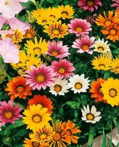 Daybreak mix Gazania: Container Flower Gardening Ideas: Daybreak Mix of Gazania  Another super-simple display, this one is an easy-to-grow combination of varieties of the same