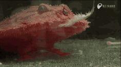 red batfish