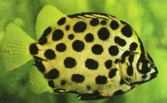 Scat Fish, get as large as ten inches across, although most only reach five inches or so in captivity, dorsal fin contains a hard ray, available at pet stores at 1 in in diameter, may need brackish or saltwater aquariums, as they get older. Great article at http://voices.yahoo.com/aquarium-life-scatophagus-spotted-scat-7075076.html?cat=53