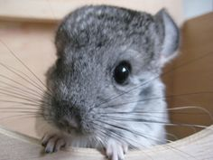 baby chinchilla pictures | Baby chinchilla | Flickr - Photo Sharing!