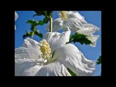 Hibiscus Flowers - Tradition, History & Medicinal uses - YouTube