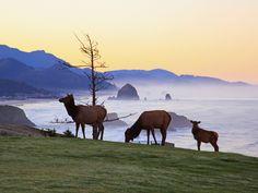 Elk at Sunrise, Ecola State Park and Haystck Rock, Oregon