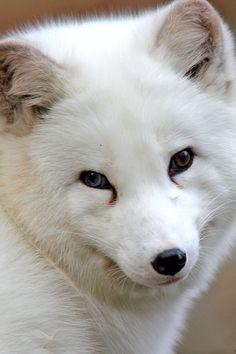 wonderous-world:  Arctic Fox byClaudia Reinöhl