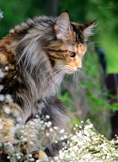20+ Most Popular Long Haired Cat Breeds Orange maine