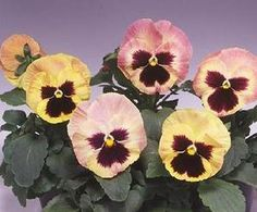 Pase Seeds - PANSY - MAJESTIC GIANT II - SHERRY Annual Seeds, $3.99 (http://www.paseseeds.com/pansy-majestic-giant-ii-sherry-annual-seeds/)