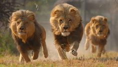 Astonishing!! Pack of Lions save Christian Missionaries from Execution by Islamic Militants. | Philippines News Feed
