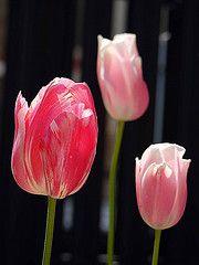 Tulips in our garden