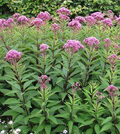 Goed voor vlinders -Eupatorium purpureum - leverkruid / koninginnenkruid, wordt hoog