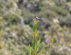 Giant Hummingbird (Ecuadorian Andes) -  credits: Jose Luis Agualongo (terrasenses)