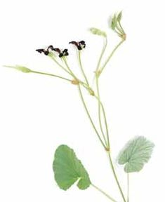 Umkcaloabo - a potent ENT antibiotic. Good for the herb garden.