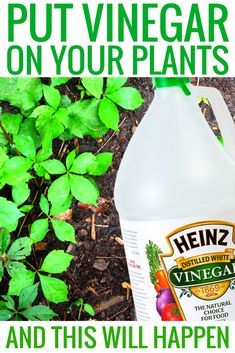 Put Vinegar on Your Plants and This Will Happen vinegar cleaning hacks gardening and garden ideas vinegar hacks cleanses tips and tricks life hacks vinegar uses life hacks every girl should know : uses for vinegar. Diy Hacks, Cleaning Hacks, Organic Gardening, Gardening Tips, Gardening Services, Vegetable Gardening, Insecticide, Vinegar Uses, Amazing Life Hacks