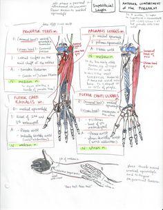 The Oxford Handbook of Medblr — minuiko: Forearm Gross Anatomy, Human Body Anatomy, Human Anatomy And Physiology, Muscle Anatomy, Medicine Notes, Medicine Student, Studying Medicine, Nursing School Notes, College Nursing
