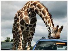 Giraffe in sunroof