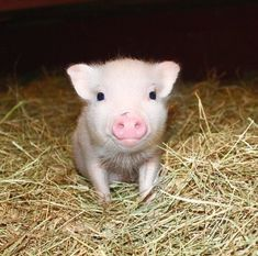 Isn't this face just the cutest? At Mini Pig World we have purebred julianas (the smallest registered official pig breed) and mixed mini pigs! Cute Baby Pigs, Baby Piglets, Cute Piglets, Cute Funny Animals, Cute Baby Animals, Farm Animals, Small Pet Pigs, Pig Breeds, Amor Animal