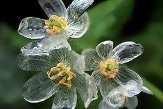 繊細なガラスのよう…濡れると透明になる花が息をのむ美しさ