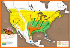 Amazing Map of Monarch butterfly migration routes, what a creature! Monarch Butterfly Migration, Monarch Caterpillar, Butterfly Kids, Butterfly Project, Overwintering, Flying Flowers, Hummingbird Garden, Habitats, North America