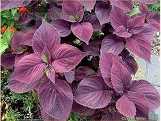 Perilla (The one I bought has purple, green and purple/green leaves. Image from Dave's Garden.)