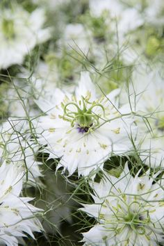 Filler flower or the main event, adding these delicate but important blooms will help you customise your display. Head on over to our blog to view. #wholesaleflowers #flowerwholesaler #bonbloemen #flowers #flowersupplier #delicateblooms #delicateflowers #forgetmenot #nigella #loveinamist #astrantia #waxflower #plantsupplier #plantwholesaler #gardenflowers #flowers #floral #northeast #floristry #flowermarket #slowfloralstyle #floralfix #florallove #florallife #blooms #floralphotography Astrantia, Wax Flowers, Floral Photography, Flower Market, Nigella, Floral Style, Mists, Delicate, Display