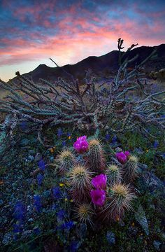 Hedgehog cactus bloom with lupines, Arizona - Chikku Baiju Photography