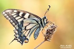 Butterfly (Papilio machaon) by Michele Agostinelli #xemtvhay
