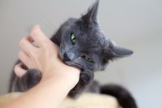 Cat Training Biting When Your Cat is a Brat - Some Helpful Cat Behavior Tips! Discover some great cat behavior tips for issues such as peeing on floors and furniture, doing naughty things to get attention, biting Cool Cats, I Love Cats, Crazy Cats, Cat Club, Cat Behavior Problems, Cat Behaviour, Gatos Cool, Cat Biting, Cat Attack