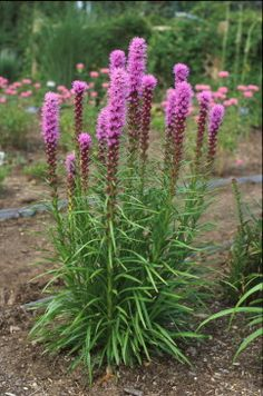 Blazing Star (Liatris spicata 'Kobold'), courtesy of www.PerennialResource.com