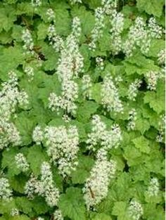 Tiarella cordifolia Beth Chatto, Woodland Plants, Planting Plan, Shade Plants, Shade Garden, Colour Schemes, Garden Styles, Shrubs, Perennials
