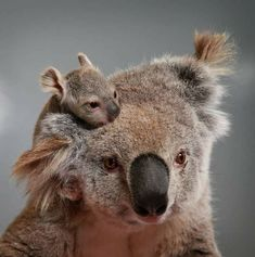 I've never seen a koala baby so small and so cute 💠Cute Funny Animals, Cute Baby Animals, Animals And Pets, Australian Animals, Tier Fotos, Cute Animal Pictures, Cute Creatures, Animal Photography, Pet Birds