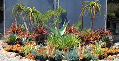 We specialize in drought-tolerant, fire-resistant landscape succulents such as agaves, aloes, cacti, caudiciforms, euphorbia, stonecrops, and other exotics.