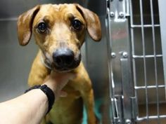 TO BE DESTROYED 06/29//16  ***NEW HOPE RESCUE ONLY***Rusty is a 7 year old dachshund mix who needs his Urgent Family tonight. He was turned into the ACC by his former owner because of cost. His intake notes describe a dog who was happy and playing with his family a few weeks ago then suddenly lost control of his hind legs. Instead of getting to the core of his problem, it was easier to pass him on to someone else. Some dachshunds have back problems, ect. A qualified vet would be Better able…