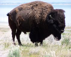 ANTELOPE ISLAND There are 700 bison on the island.