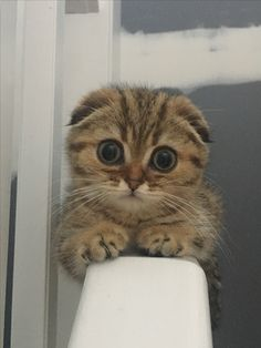 Scottish Fold...look. at. that. face <3