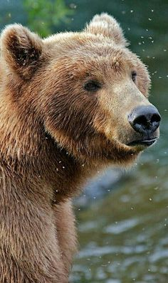 Beautiful Grizzly Bear Surrounded by Flies!