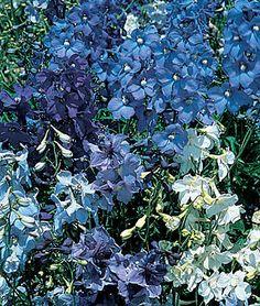 Delphinium Seeds and Plants - Deep Blue - Perennial Flowers - Burpee Wedding Plants, Blue Wedding Flowers, Burpee Seeds, Side Garden, Annual Flowers, Summer Sky, Gardening Supplies, Shades Of Blue, Perennials