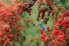 Kingfisher in Autumn Tint by Mubi.A
