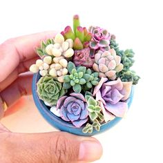 Mini succulents in tiny pot.