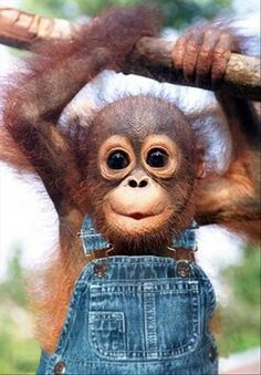 This is the exact reason WHY I want a monkey so much ... it is sooo cute