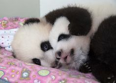 6 More Days until the Atlanta panda cubs get their names (as per tradition they will be 100 days old)