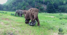 うん、赤ちゃんゾウ! | This Baby Elephant Playing With A Tyre Will Make Your Monday Better