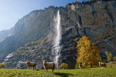 Sheep at Lauterbrunnen in the Bernese Oberland. In the background the Staubbach Falls