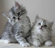 Siberian kittens are known to be incredibly affectionate and playful. Great with Children and other pets