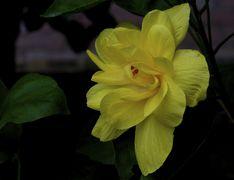 Hibiscus - Wikipedia Yellow Hibiscus, Orange, Rose, Flowers, Plants, Pink, Roses, Flora, Plant