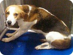 #NCAROLINA ~ ID A011901 is a Treeing Walker Coonhound in need of a loving #adopter / #rescue at  http://www.adoptapet.com/pet/10583967-burgaw-north-carolina-treeing-walker-coonhound PENDER COUNTY ANIMAL SHELTER  3280 New Savannah Rd Burgaw NC 28425 Ph 910-259-1484