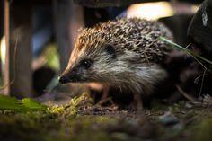 Hedgehog by Leszek Dudzik on 500px