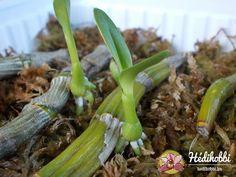 A Dendrobium sp. Celery, Asparagus, Green Beans, Zucchini, Orchids, Vegetables, Flowers, Gardening, Garten
