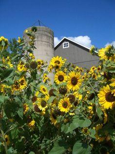 Barn & Lots Of Sun Flowers