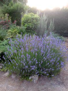 Romero y lavanda en un jardín con plantas tapizantes y rastreras (Zaragoza). Rosemary and lavender in a garden with ground cover and creeping (Zaragoza).