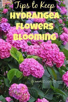 Tips to Keep Hydrangea Flowers Blooming - iSaveA2Z.com #gardeningflowers