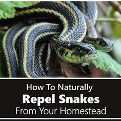How To Repel Snakes Naturally is part of Garden snakes - There are many different pesky critters that can cause havoc on any homestead They always say prevention is better than cure, that is why I have already shared Snake Repellant, Keep Snakes Away, Garden Snakes, Water Catchment, Garden Guide, Garden Ideas, Pond Ideas, Organic Gardening Tips, Gardening Hacks